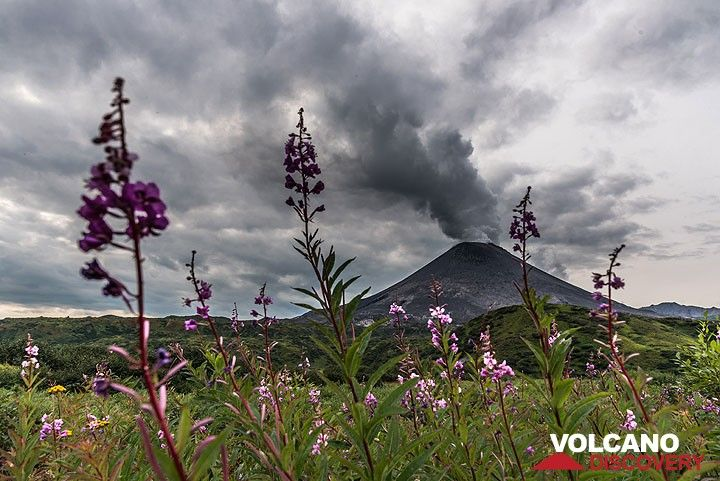 Beautiful dark red wild flowers grow on the fields with steaming Karymsky volcano behind. (Photo: Tom Pfeiffer)