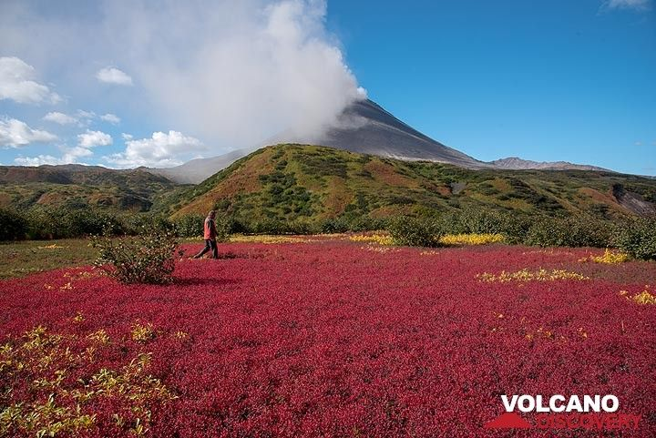 Next to the hut, a remarkable field of red tundra can be admired. (Photo: Tom Pfeiffer)