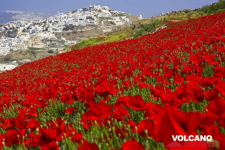 Field of red poppies near Pirgos, Santorini (Greece) in May 2012 (Photo: Tom Pfeiffer)